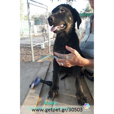 Δίνεται για υιοθεσία - χαρίζεται ημίαιμο κουτάβι Rottweiler - Ροτβάιλερ