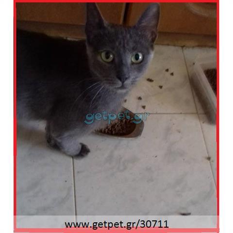 Δίνεται για υιοθεσία - χαρίζεται ημίαιμη γάτα Russian - Ρωσσική