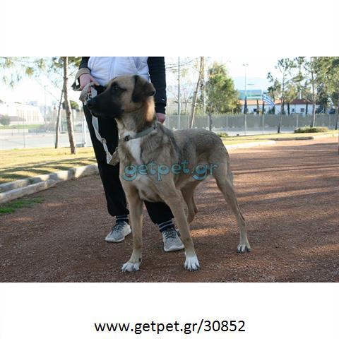 Δίνεται για υιοθεσία - χαρίζεται ημίαιμος σκυλάκος Kangal - Κάνγκαλ