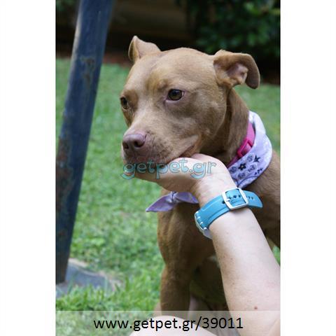 Δίνεται για υιοθεσία - χαρίζεται ημίαιμη σκυλίτσα Pit Bull - Πίτ Μπουλ Τερριέ