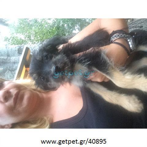 Δίνεται για υιοθεσία - χαρίζεται ημίαιμη σκυλίτσα Yorkshire Terrier - Γιορκσάιρ Τεριέ – Γιόρκι