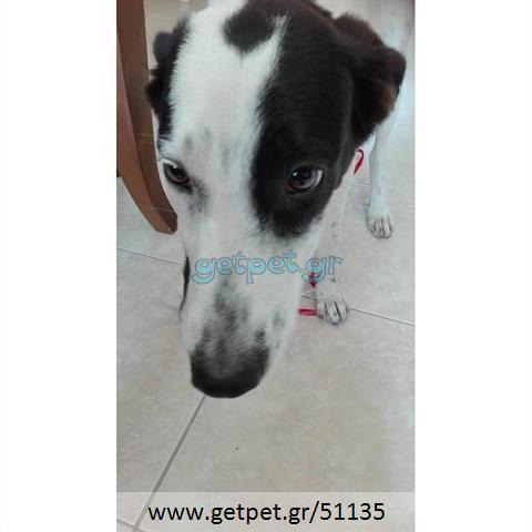 Δίνεται για υιοθεσία - χαρίζεται ημίαιμη σκυλίτσα Dalmatian -Δαλματίας