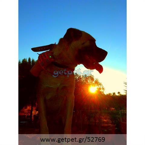 Δίνεται για υιοθεσία - χαρίζεται σκυλίτσα Bull Mastiff - Μπουλ Μαστίφ