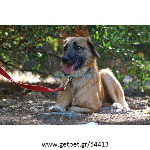 Δίνεται για υιοθεσία - χαρίζεται ημίαιμος σκυλάκος Griffon - Γκριφόν