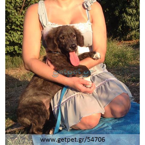 Δίνεται για υιοθεσία - χαρίζεται ημίαιμος σκυλάκος Alaskan Malamute - Μάλαμουτ