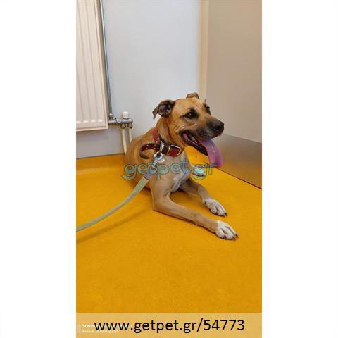 Δίνεται για υιοθεσία - χαρίζεται σκυλίτσα American Staffordshire Terrier - Τεριέ