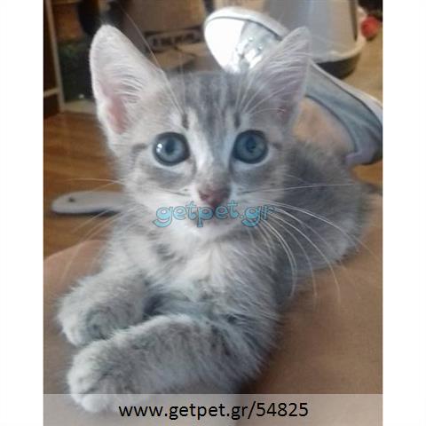 Δίνεται για υιοθεσία - χαρίζεται γάτος Russian Blue - Ρωσική μπλέ γάτα