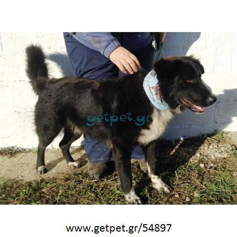 Δίνεται για υιοθεσία - χαρίζεται ημίαιμος σκυλάκος Border Collie - Μπόρντερ Κόλεϋ