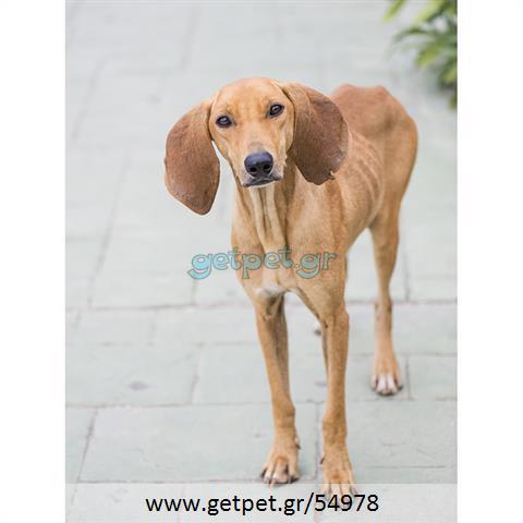 Δίνεται για υιοθεσία - χαρίζεται σκυλάκος Segugio - Σεγκούτσι