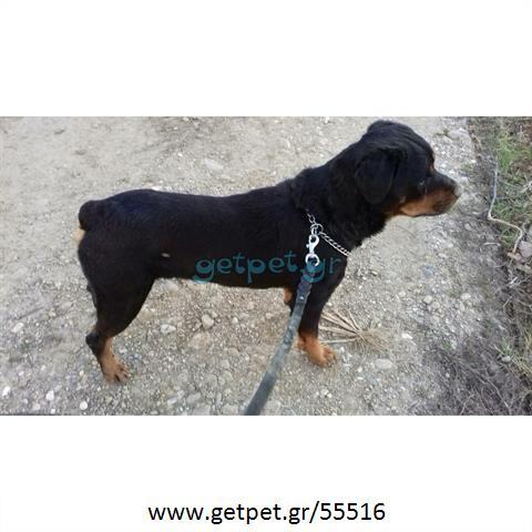 Δίνεται για υιοθεσία - χαρίζεται σκυλάκος Rottweiler - Ροτβάιλερ