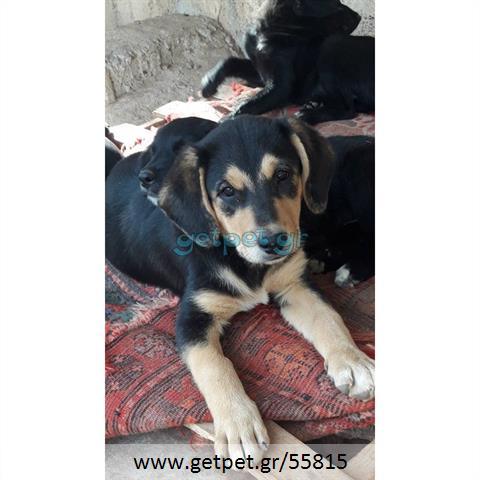 Δίνεται για υιοθεσία - χαρίζεται κουτάβι Greek Sheepdog - Ελληνικός Ποιμενικός