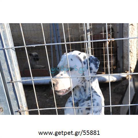 Δίνεται για υιοθεσία - χαρίζεται σκυλάκος Dalmatian -Δαλματίας
