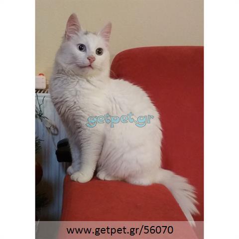 Δίνεται για υιοθεσία - χαρίζεται γατάκι Norwegian Forest Cat - Γάτα Νορβηγικού Δάσους