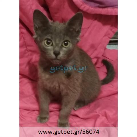 Δίνεται για υιοθεσία - χαρίζεται γατάκι Russian Blue - Ρωσική μπλέ γάτα