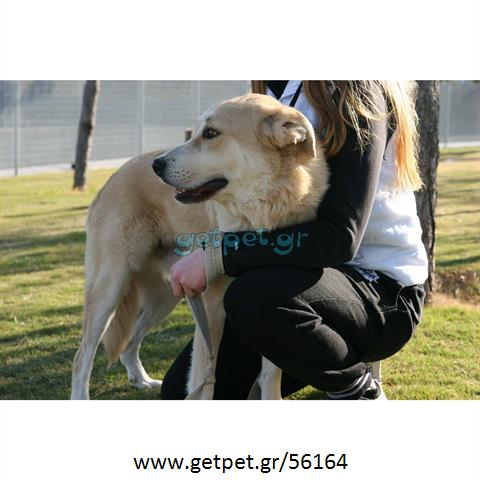 Δίνεται για υιοθεσία - χαρίζεται ημίαιμος σκυλάκος Golden Retriever - Γκόλντεν Ριτρίβερ