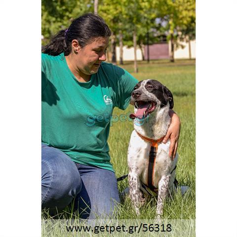 Δίνεται για υιοθεσία - χαρίζεται ημίαιμη σκυλίτσα Irish Setter - Αγγλικό Σέτερ