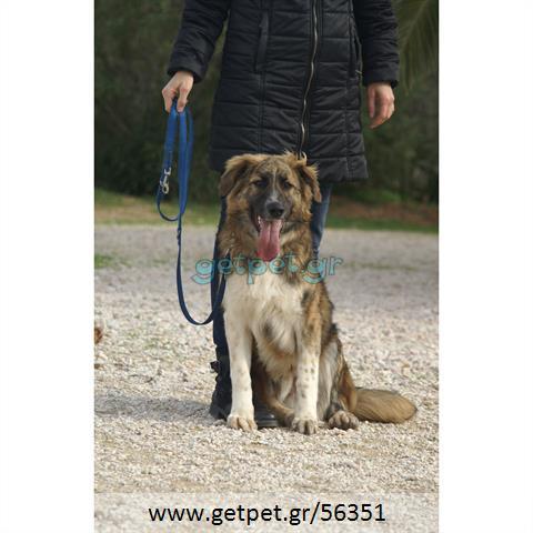 Δίνεται για υιοθεσία - χαρίζεται ημίαιμος σκυλάκος German Shepherd - Γερμανικός Ποιμενικός - Λυκόσκυλο