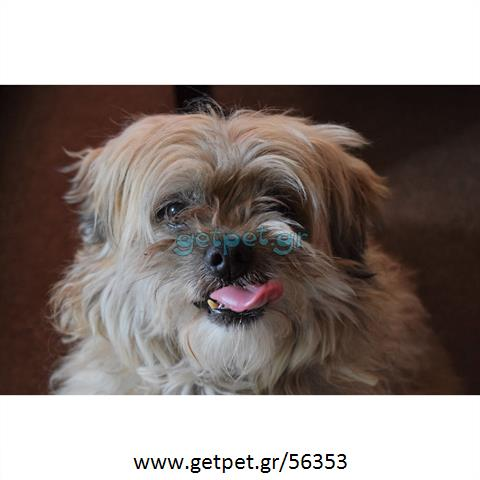 Δίνεται για υιοθεσία - χαρίζεται ημίαιμος σκυλάκος Maltese - Μαλτέζ