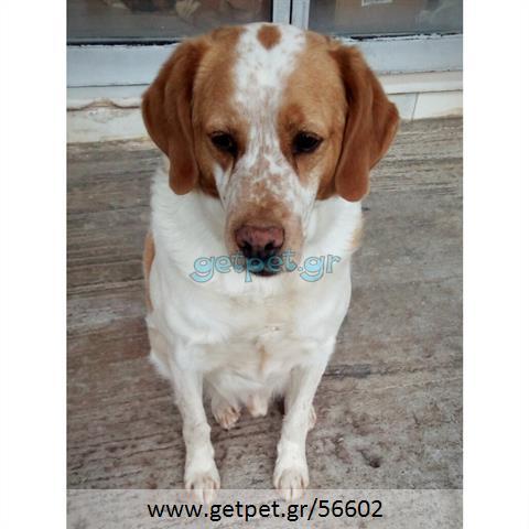 Δίνεται για υιοθεσία - χαρίζεται ημίαιμος σκυλάκος Epagneul Breton - Έπανιέλ Μπρετόν