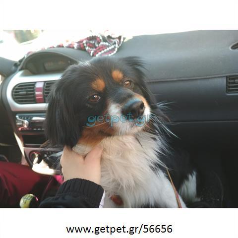 Δίνεται για υιοθεσία - χαρίζεται ημίαιμος σκυλάκος Cavalier King Charles Spaniel - Κινγκ Τσαρλς