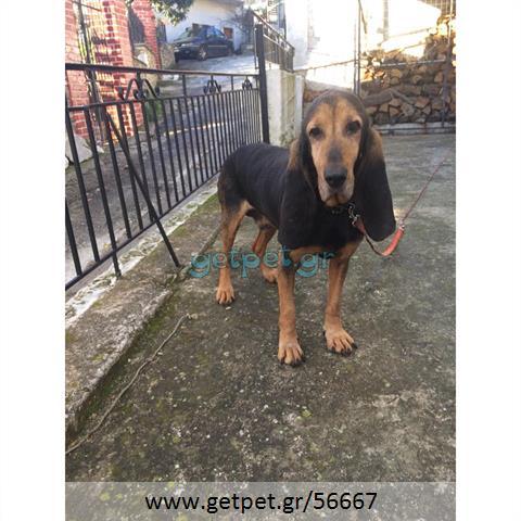Δίνεται για υιοθεσία - χαρίζεται ημίαιμος σκυλάκος Basset Hound - Μπασέ Χάουντ
