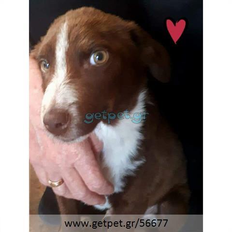 Δίνεται για υιοθεσία - χαρίζεται ημίαιμη σκυλίτσα Epagneul Breton - Έπανιέλ Μπρετόν