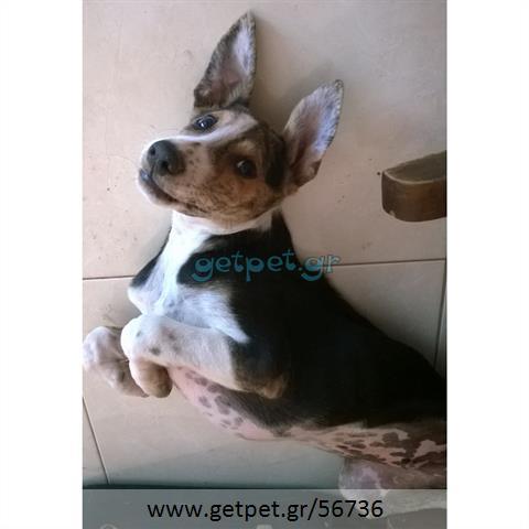 Δίνεται για υιοθεσία - χαρίζεται κουτάβι Jack Russell Terrier - Τζακ Ράσελ Τεριέ