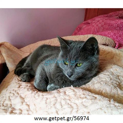 Δίνεται για υιοθεσία - χαρίζεται γάτα Russian - Ρωσσική