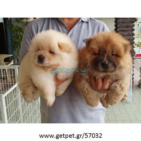 Δίνεται για υιοθεσία - χαρίζεται ημίαιμη σκυλίτσα Chow chow - Τσοου Τσόου