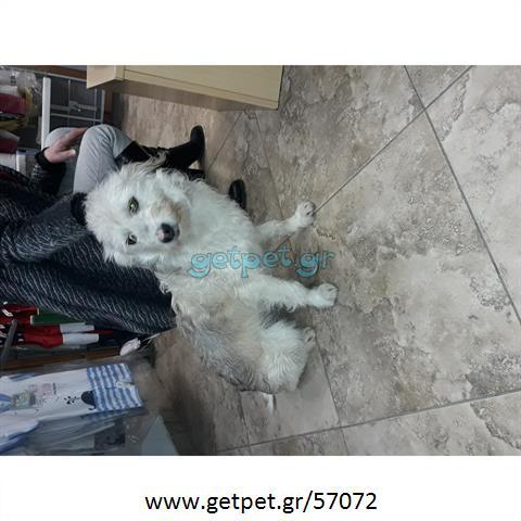 Δίνεται για υιοθεσία - χαρίζεται ημίαιμος σκυλάκος Caniche - Poodle - Κανίς