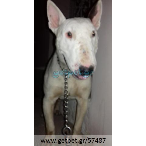 Δίνεται για υιοθεσία - χαρίζεται σκυλάκος Bull Terrier - Μπουλ Τερριέ