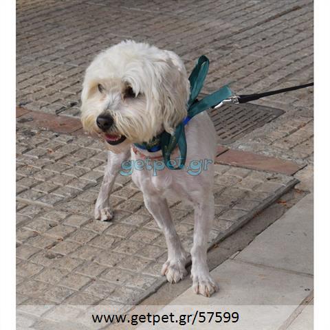 Δίνεται για υιοθεσία - χαρίζεται σκυλάκος Maltese - Μαλτέζ