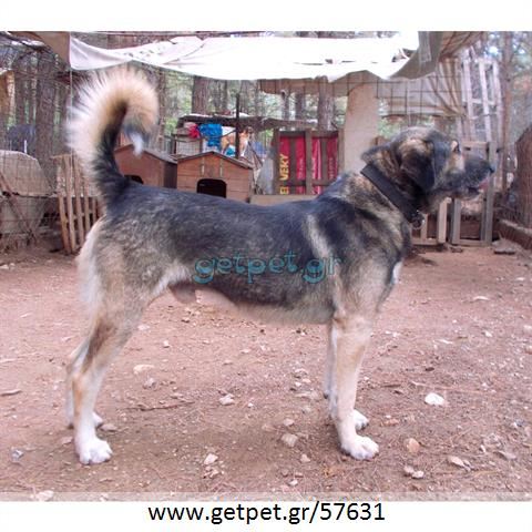 Δίνεται για υιοθεσία - χαρίζεται ημίαιμος σκυλάκος