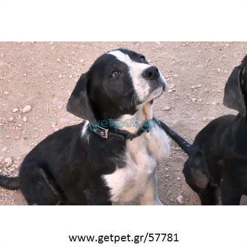 Δίνεται για υιοθεσία - χαρίζεται ημίαιμος σκυλάκος Greek Molossus of Epirus - Μολοσσός της Ηπείρου