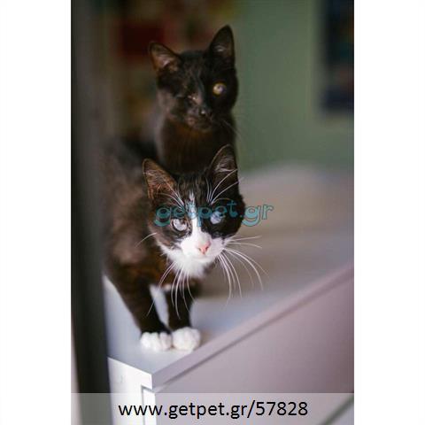 Δίνεται για υιοθεσία - χαρίζεται ημίαιμος γάτος British Longhair- Βρετανική Μακρύτριχη