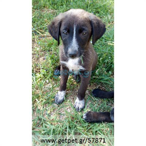 Δίνεται για υιοθεσία - χαρίζεται ημίαιμος σκυλάκος Belgian Shepherd - Βέλγικο Ποιμενικό