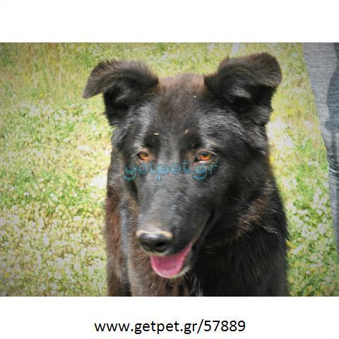 Δίνεται για υιοθεσία - χαρίζεται σκυλίτσα Belgian Shepherd - Βέλγικο Ποιμενικό