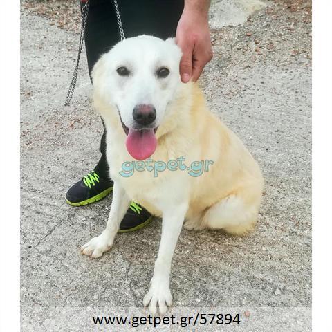 Δίνεται για υιοθεσία - χαρίζεται ημίαιμη σκυλίτσα Golden Retriever - Γκόλντεν Ριτρίβερ