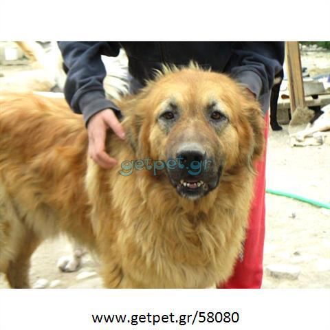 Δίνεται για υιοθεσία - χαρίζεται σκυλίτσα Greek Molossus of Epirus - Μολοσσός της Ηπείρου