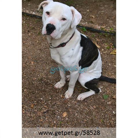Δίνεται για υιοθεσία - χαρίζεται ημίαιμος σκυλάκος American Bulldog - Μπουλ Ντογκ