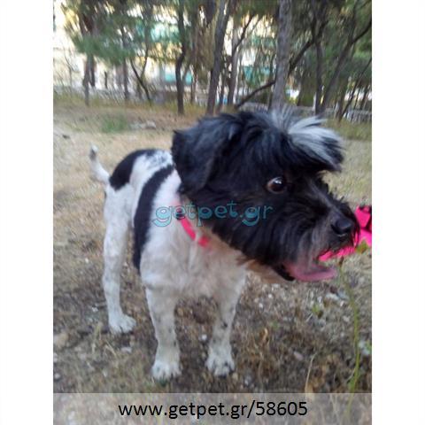 Δίνεται για υιοθεσία - χαρίζεται ημίαιμη σκυλίτσα Maltese - Μαλτέζ