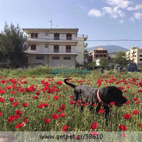 Δίνεται για υιοθεσία - χαρίζεται σκυλάκος Cane corso - Κάνε Κόρσο