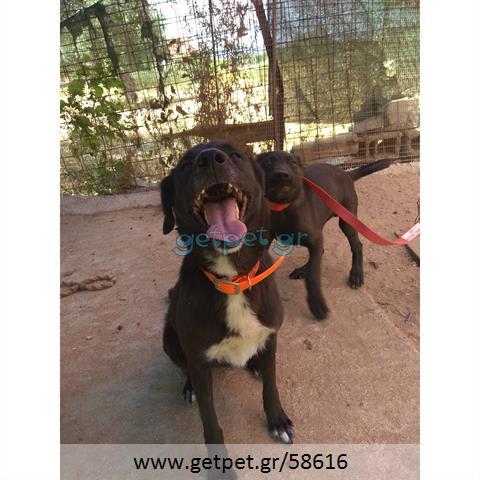 Δίνεται για υιοθεσία - χαρίζεται σκυλίτσα Greek Kokoni - Κοκόνι
