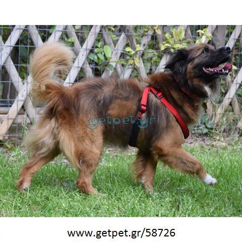 Δίνεται για υιοθεσία - χαρίζεται σκυλάκος Greek Kokoni - Κοκόνι