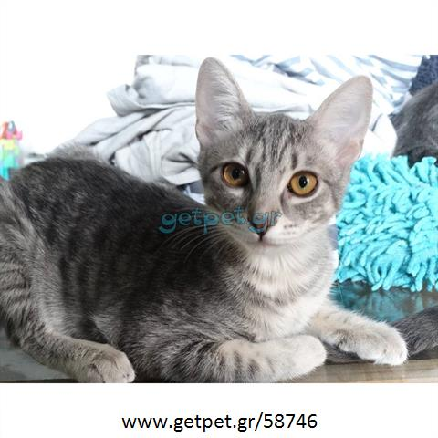 Δίνεται για υιοθεσία - χαρίζεται ημίαιμη γάτα Russian Blue - Ρωσική μπλέ γάτα