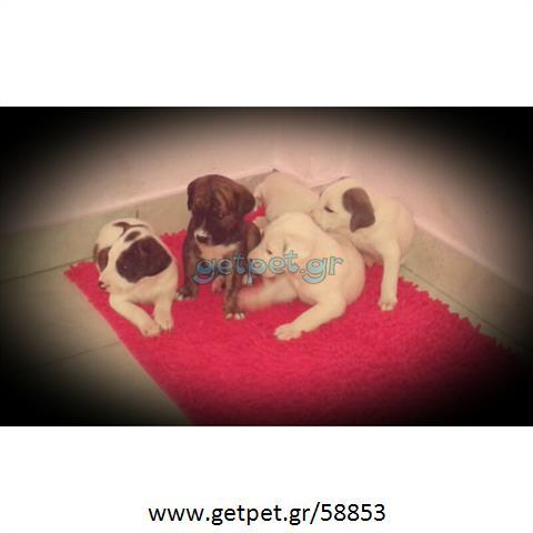 Δίνεται για υιοθεσία - χαρίζεται ημίαιμος σκυλάκος Dalmatian -Δαλματίας