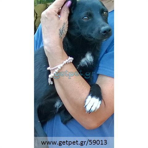 Δίνεται για υιοθεσία - χαρίζεται ημίαιμη σκυλίτσα Pinscher - Πίνσερ