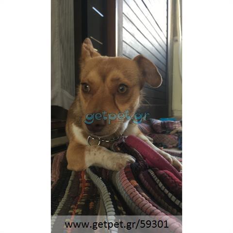 Δίνεται για υιοθεσία - χαρίζεται ημίαιμος σκυλάκος Cardigan Welsh Corgi - Κόργκι