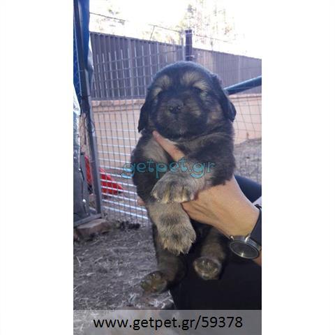 Δίνεται για υιοθεσία - χαρίζεται ημίαιμος σκυλάκος Central Asian Shepherd - Ποιμενικός Κεντρ. Ασίας