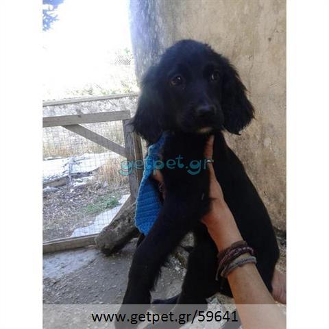 Δίνεται για υιοθεσία - χαρίζεται ημίαιμος σκυλάκος Coker Spaniel - Κόκερ Σπάνιελ
